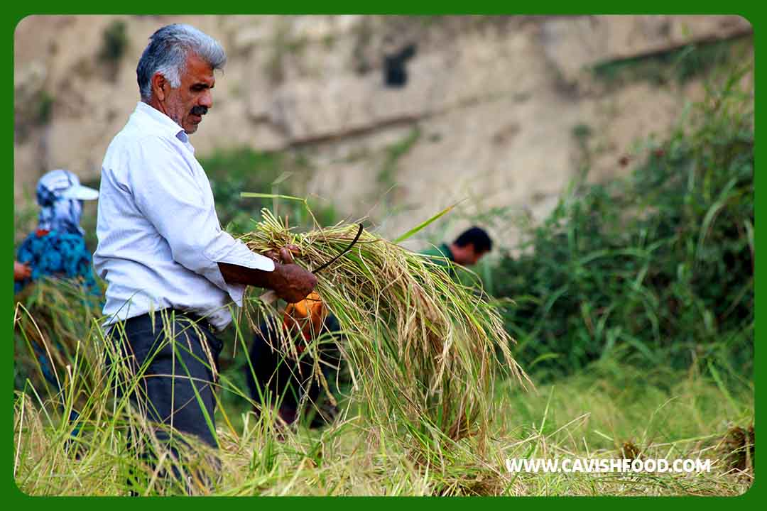 کشاورز برنج کار کاویش